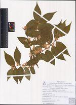 Lonicera maackii (Rupr.) Herd.
