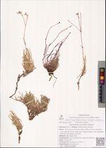 Gypsophila sambukii Schischk.