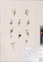Gypsophila violacea (Ledeb.) Fenzl