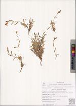 Lychnis ajanensis Regel