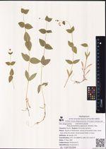 Pseudostellaria japonica (Korsh.) Pax