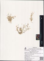 Sagina japonica (Sw.) Ohwi