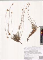 Silene stenophylla Ledeb.