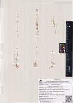Stellaria edwardsii  R.Br.
