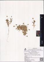 Stellaria eschscholtziana Fenzl