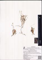 Stellaria jacutica Schischk.