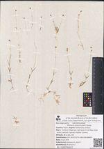 Stellaria peduncularis Bunge