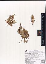 Wilhelmsia physodes (Fisch. ex Ser.) McNeill