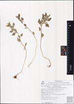 Chenopodium opulifolium Schrad.