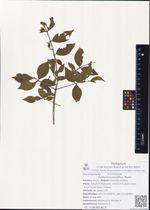 Euonymus pauciflora Maxim.
