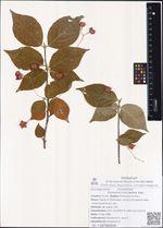 Euonymus macroptera Rupr.