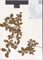 Euonymus sacrosancta Koidz.