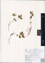 Chamaepericlymenum suecicum (L.) Aschers. Et Graebn.