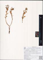 Rhodiola stephanii (Schltdl.) Trautv. & C.A. Mey.