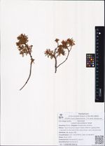 Ledum decumbens Small