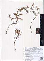 Loiseleuria procumbens (L.) Loisel.