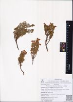 Phyllodoce aleutica (Spreng.) A. Heller
