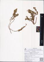 Phyllodoce caerulea (L.) Bab.