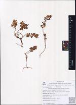 Rhodococcum minor (Lodd.) Avrorin