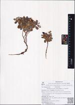 Rhodococcum vitis-idaea (L.) Avrorin