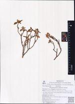 Rhododendron adamsii Rehder