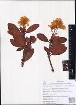 Rhododendron aureum Georgi