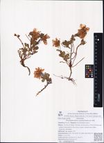 Rhododendron camtschaticum Pall.