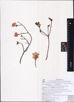 Rhododendron mucronulatum Turcz.