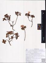 Rhododendron parviflorum Adam