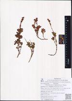 Rhododendron redowskianum Maxim.