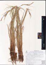 Carex appendiculata (Trautv. & C.A.Mey.) Kük.