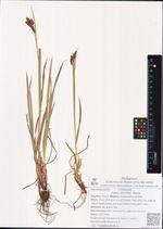 Carex aterrima  Hoppe