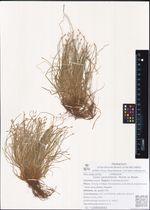 Carex capituliformis  Meinsh. ex Maxim.