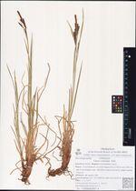 Carex concolor  R.Br.