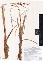 Carex cryptocarpa  C.A.Mey.