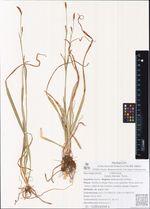 Carex falcata Turcz.