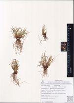 Carex fuscidula  V.Krecz.ex Egor.