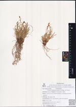 Carex ledebouriana C.A.Mey. ex Trevir.
