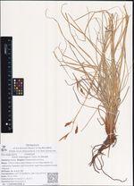 Carex macrogyna Turcz. ex Steudel