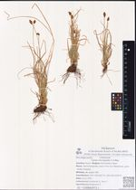 Carex micropoda C.A.Mey.