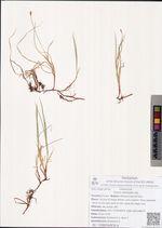 Carex obtusata Lilj.