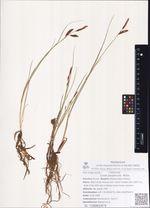 Carex paupercula  Michx.