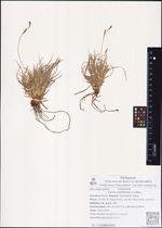 Carex pediformis C.A.Mey.