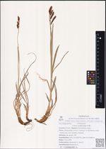 Carex podocarpa R.Br.