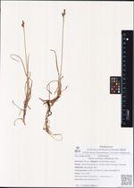 Carex rariflora (Wahlenb.) Sm.