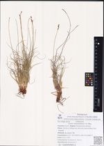 Carex redowskiana C.A. Mey.