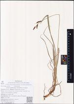 Carex rigidioides (Gorodkov) V.I.Krecz.