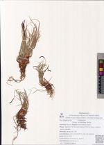 Carex scirpoidea Michx.