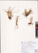 Carex tripartita All.