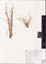 Eleocharis ovata (Roth) Roem. & Schult.